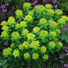 Euphorbia polychroma - Vrtnastvo Breskvar