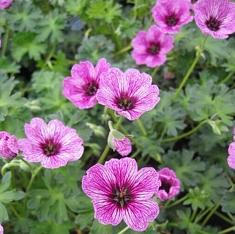 Geranium cinereum 'Laurence Flatman' - Vrtnarstvo Breskvar