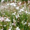 Gaura lindheimerii 'Elurra' - Vrtnarstvo Breskvar