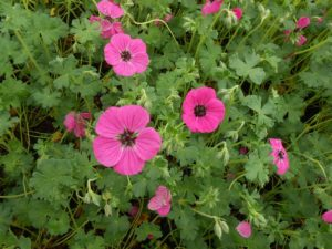 Geranium cinereum subcaulesc. 'Splendens' - Vrtnarstvo Breskvar