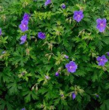 Geranium himalayense Gravetye - Vrtnarstvo Breskvar