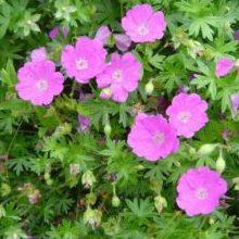 Geranium sanguineum 'Max Frei' - Vrtnarstvo Breskvar