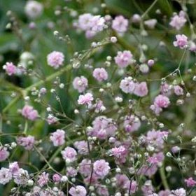 Gypsophila pacifica - Vrtnarstvo Breskvar