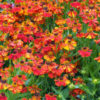 Helenium 'Rubinzwerg - Vrtnarstvo Breskvar