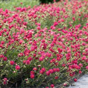 Helianthemum x cultivar 'Cerise Queen' - Vrtnarstvo Breskvar