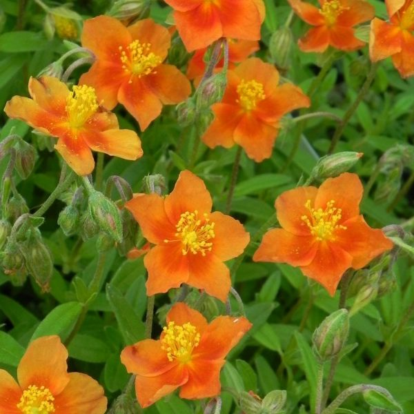 Helianthemum cultivar 'Watergate Orange' - Vrtnarstvo Breskvar