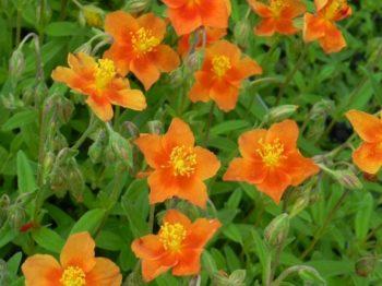 Helianthemum cultivar 'Watergate Orange' - Vrtnarstvo Breskvar