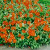Heliantheum x cultivar 'Watergate Orange' - Vrtnarstvo Breskvar