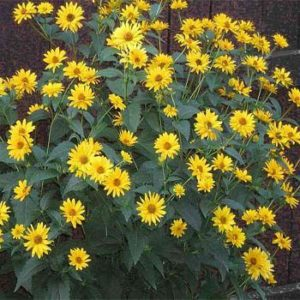 Heliopsis scabra 'Sommersonne'' - Vrtnarstvo Breskvar