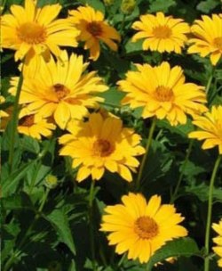 Heliopsis scabra 'Sommersonne' - Vrtnarstvo Breskvar