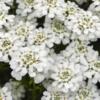 Iberis sempervirens 'Tahoe' cvet - Vrtnarstvo Breskvar