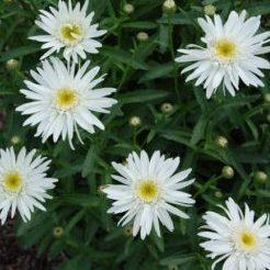 Leucanthemum x superbum 'Christine Hagemann' - Vrtnarstvo Breskvar
