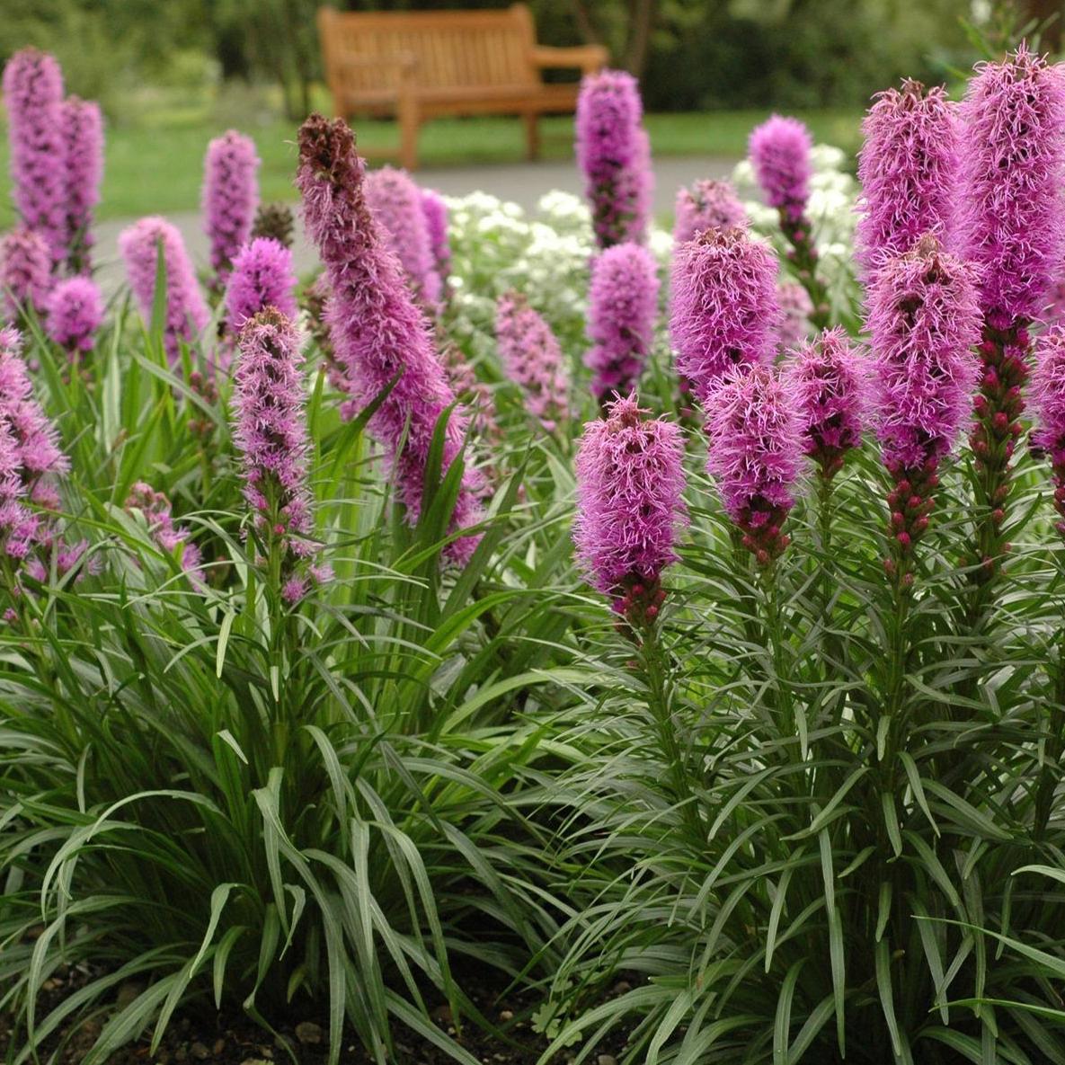 Liatris spicata 'Kobold' - Vrtnarstvo Breskvar
