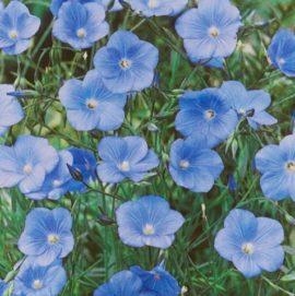 Linum perenne 'Nanum Saphir' - Vrtnarstvo Breskvar