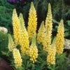 Lupinus polyphyllus 'Camelot Yellow' -Vrtnarstvo Breskvar