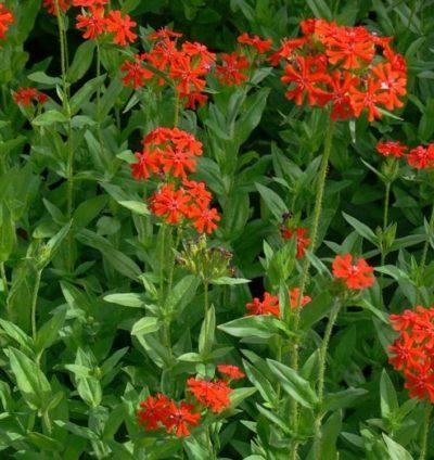 Lychnis chalcedonica - Vrtnarstvo Breskvar