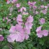Malva moschata - Vrtnarstvo Breskvar