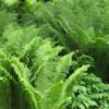 Matteuccia struthiopteris - Vrtnarstvo Breskvar