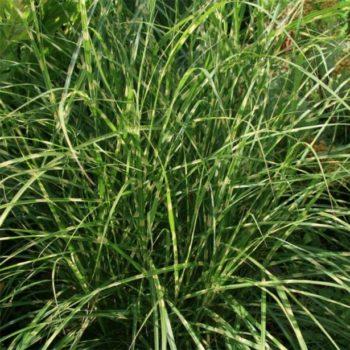 Miscanthus sinensis 'Little Zebra' - Vrtnarstvo Breskvar