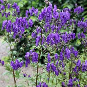 Aconitum henry 'Spark' - Vrtnarstvo Breskvar