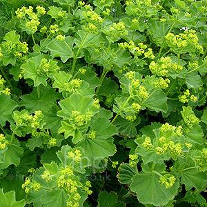 Alchemilla mollis - Vrtnarstvo Breskvar