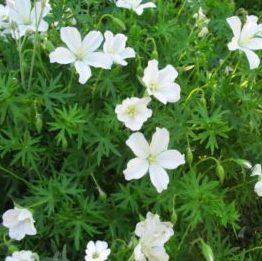 Geranium sanguineum 'Album' - Vrtnarstvo Breskvar