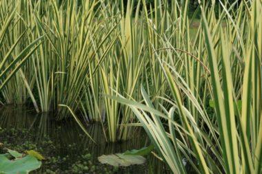 Acorus calamus 'Variegatus' - Vrtnarstvo Breskvar