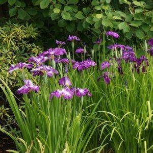 Iris ensata -Vrtnarstvo Breskvar