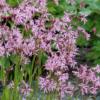 Lychnis flos-cuculi - Vrtnarstvo Brekvar