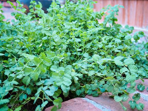 Sanguisorba minor 2 -- Vrtnarstvo Breskvar