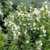 Satureja montana ssp. montana - Vrtnarstvo Breskvar