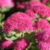 Sedum spectabile Carl - Vrtnarstvo Breskvar