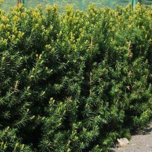 Taxus x media 'Hilli' - Vrtnarstvo Breskvar