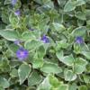 Vinca major 'Variegata' - Vrtnarstvo Breskvar