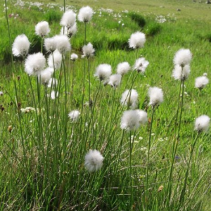 Eriophorum vaginatum - Vrtnarstvo Breskvar