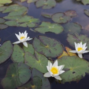 Nymphaea tetragona - Vrtnarstvo Breskvar