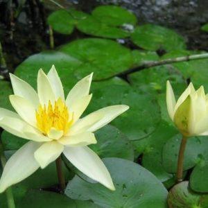 Nyphaea helvola - Vrtnarstvo Breskvar