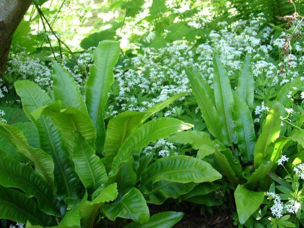 Phyllitis scolopendrium 2 - Vrtnarstvo Breskvar