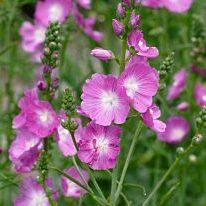 Sidalcea malviflora 'Rosanna' - Vrtnarstvo Breskvar