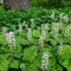 Tiarella cordifolia - Vrtnarstvo Breskvar