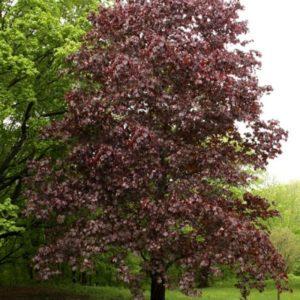 Acer platanoides 'Crimson King' - vrtnarstvo Breskvar