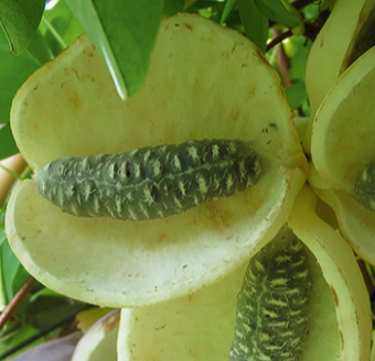 Akebia quinata Shirobana plod - Vrtnarstvo Breskvar