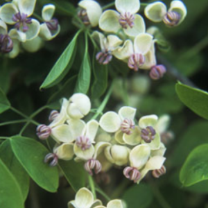 Akebia quinata 'Shirobana' - Vrtnarska Breskvar