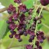 Akebia x pentaphylla 'Purple Incense' - Vrtnarstvo Breskvar