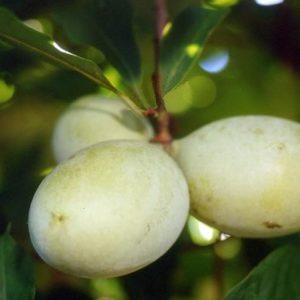 Asimina triloba Peterson Rappahannock® - Vrtnarstvo Breskvar