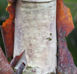 Betlula Utilis deblo - Vrtnarstvo Breskvar