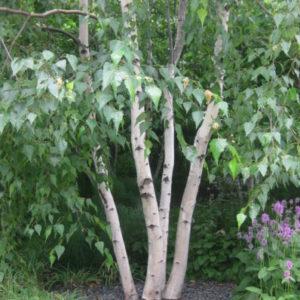 Betula utilis - Vrtnarstvo Breskvar