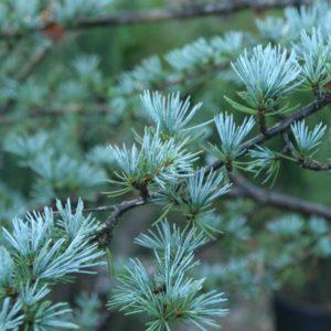 Cedrus atlantica 'Glauca' - Vrtnarstvo Breskvar