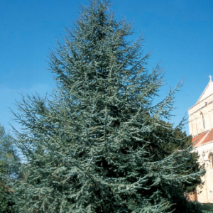 Cedrus atlatntica 'Glauca' - Vrtnarstvo Breskvar