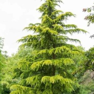 Cedrus deodara 'Aurea' - Vrtnarstvo Breskvar